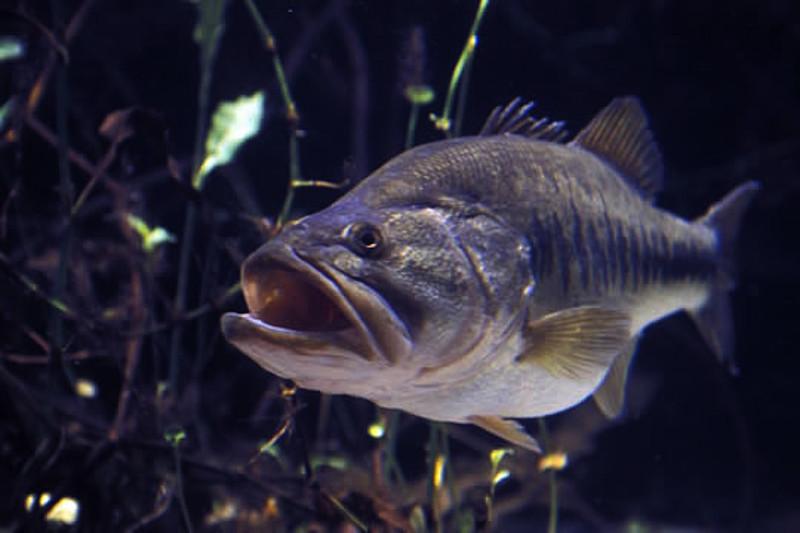 Beware moving fish - even native bass   FishingWorld com